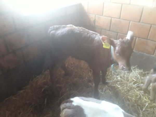 1 GLENN Samendose (BROWN SWISS)
